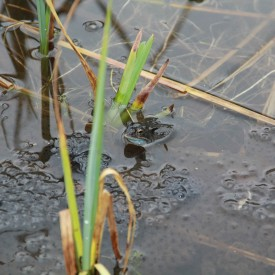 April 2015 - Busy frogs at Brandon Country Park