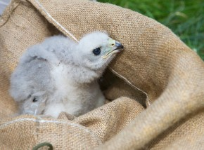 Goshawk Chick © Ian Smith