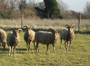 Sheep in the Brecks Project Starts