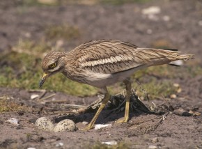 UK first as experts use GPS to keep tabs on elusive stone-curlews