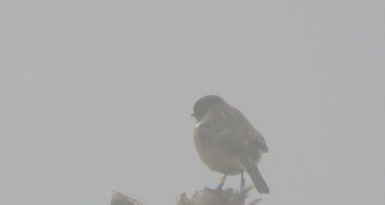 Stonechat in the mist! Photo Alin Tarca